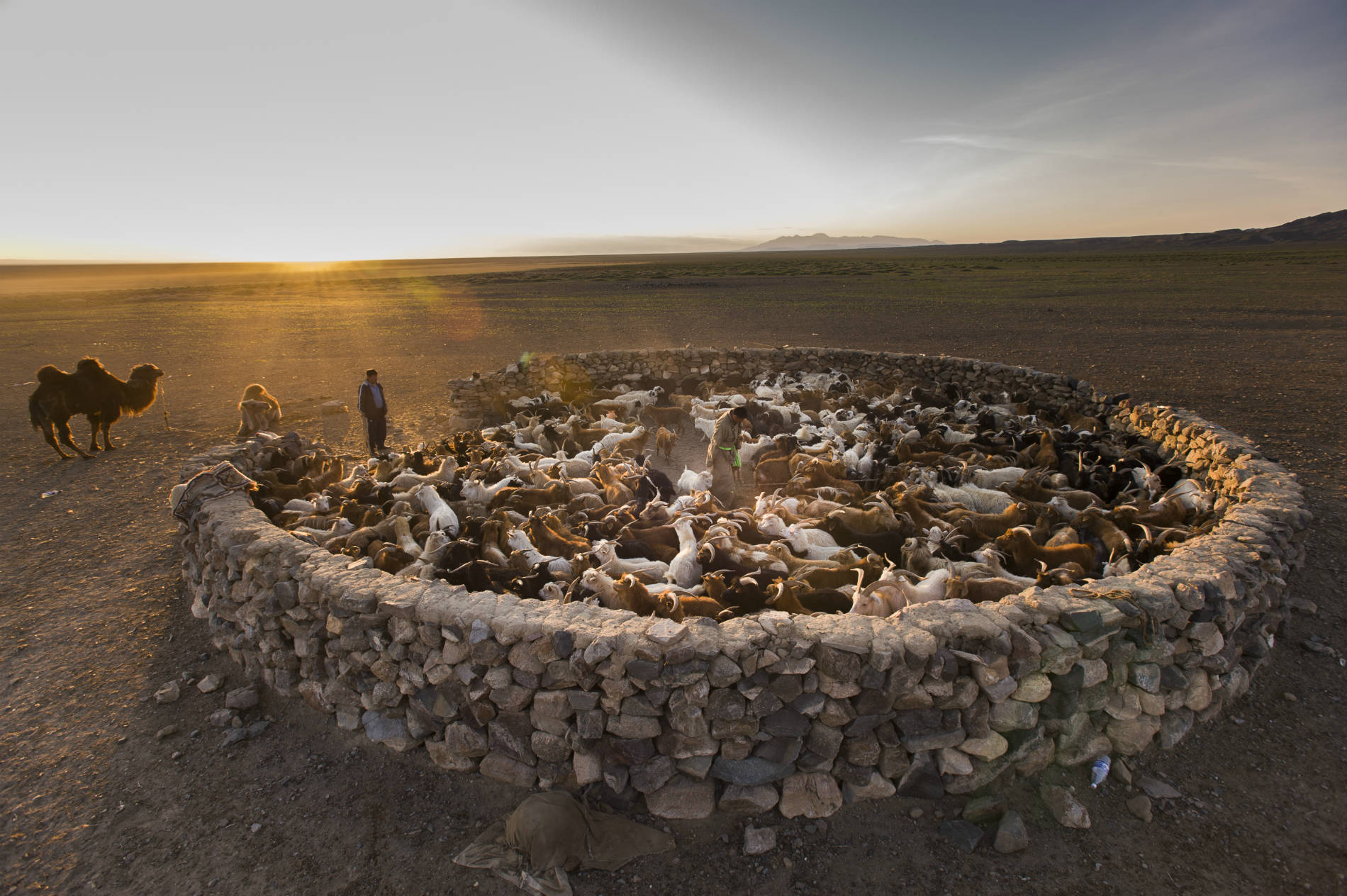 Nomads, goats, and camels, Mongolia