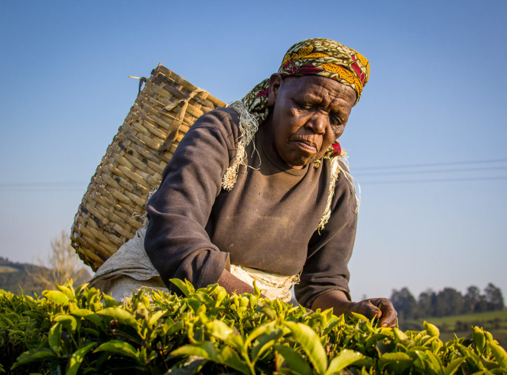 Tanzania Tea pickers for Rainforest Alliance Unilever story - image by CIFOR